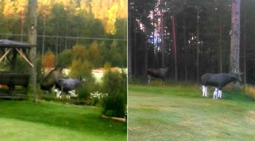 Ove'nin kendi fotoğraflarında sevdalı moose ve heykeli görülüyor. Foto: Okuyucu gönderdi